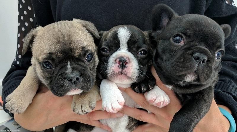 Flo, Poley and Papaya - French Bulldogs