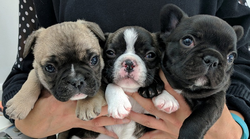 Flo, Poley and Papaya - French Bulldogs