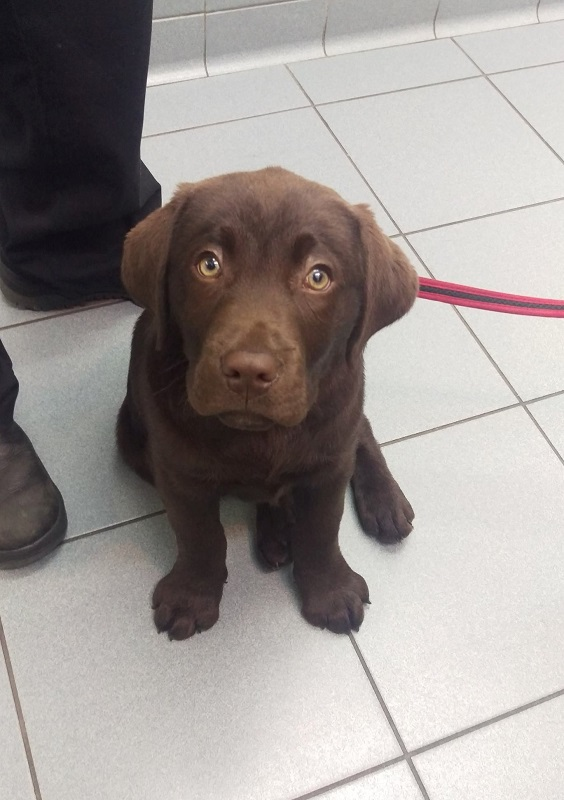 Monty, Chocolate Labrador